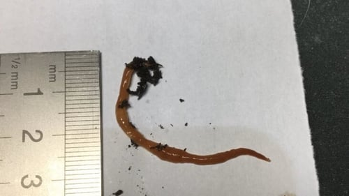 The worms were discovered in the Beara peninsula in West Cork