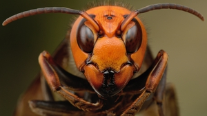 Irish beekeepers fear the Asian hornet may not be far away