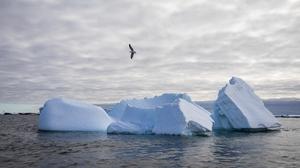 A kelp gull flies over icebergs surrounding Galindez Island in Antarctica