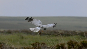 The Hen Harrier has experienced sharp decline in recent decades
