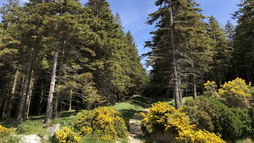 Sitka Spruce will gradually be replaced with native species