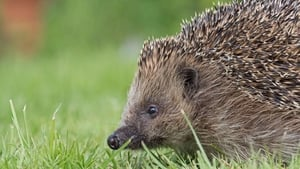 Studies in the UK estimate losses of up to 50% of hedgehogs in rural areas