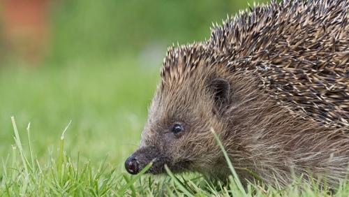 Studies in the UK estimate losses of up to 50% of hedgehogs in rural areas