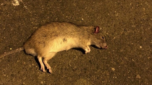 The council saidpart of the problem is that modern regulations limit the strength of rat poison and where it can be placed