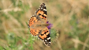 The 2019 numbers of the Painted Lady were almost 600% up on the 2008 figure (Image: Liam Lysaght)