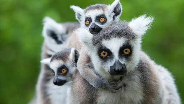 A family of ring-tailed lemur