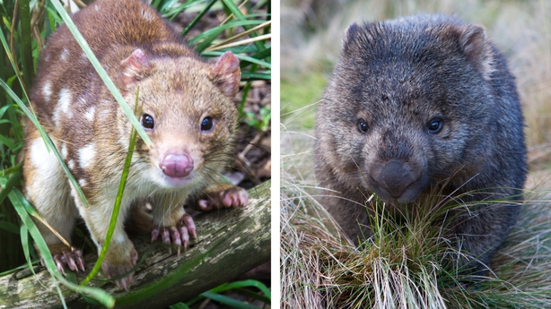 A spotted quoll and a wombat