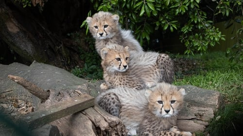 The three male cubs, now exactly 12 weeks old, were born on St Patrick's Day (image: Darragh Kane)