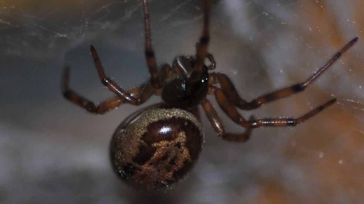 Spider bites carry harmful bacteria - study
