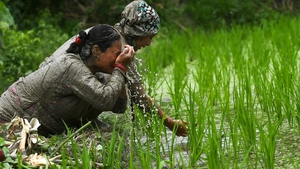 Traditional farming songs and laughter echoed in the air as farmers waded into waterlogged fields to sow green paddy