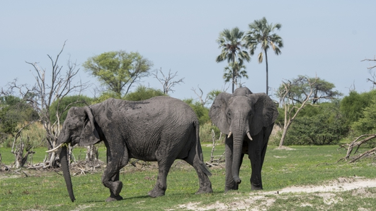 Mystery over death of hundreds of African elephants