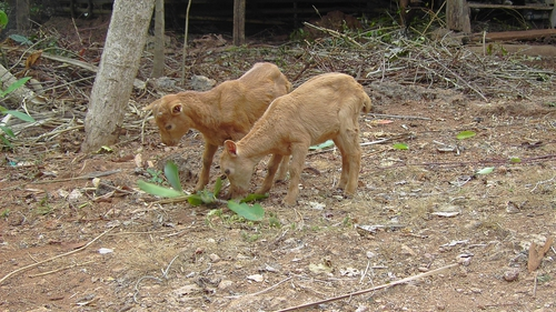 Domestic goat kids inIndonesia. Domesticated animals can provide intermediary hosts through which wildlife pathogens can spread to humans.