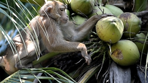 Pigtailed macaques are being taken from the wild in Thailand and used on farms to harvest coconuts