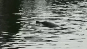 The Sowerby's beaked whale thrives in deep water (Pics: Irish Whale and Dolphin Group)