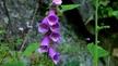 Naturefile - Foxgloves