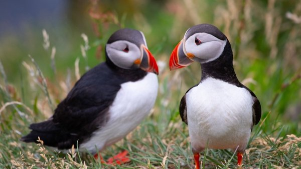 The Atlantic Puffin is among the species in the protected area