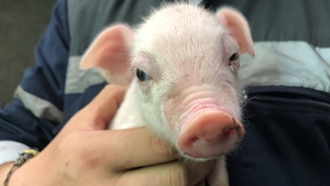 One of the 20 piglets born to a first-time mother in Co Longford
