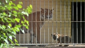 Nuri pictured with her newborn cub in the Wroclaw Zoo