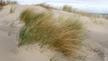 Naturefile - Marram Grass
