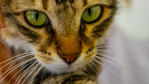 """The British environment ministry said """"all available evidence"""" suggested the cat had contracted the coronavirus from its owners (File pic)"""