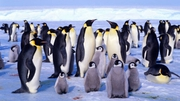 Emperor penguins are the largest penguin species, weighing up to 40kg and living for around 20 years