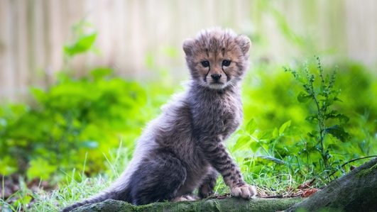 Fota welcomes three cheetah cubs