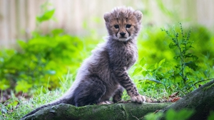 The cubs, born in June, have started to come out of their den