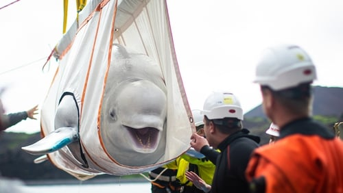 A special sling was used to transfer Little Grey from a tugboat to the care pool