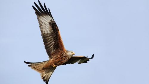 A red kite in flight. Photo: Andrew Kelly