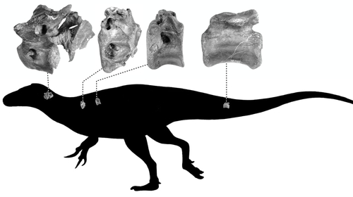 Images released by the University of Southampton showed the position of the bones on the dinosaur