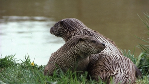Pana otters or Dublin otters? Photo: Vincent Wildlife Trust