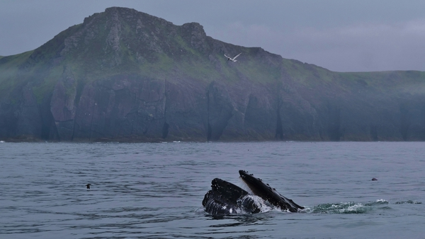 The whales have spent the last ten days within a few miles of the shore (Photos courtesy of Nick Massett, IWDG)