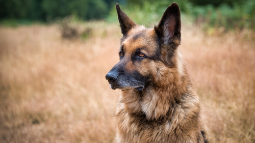 The German Shepherd is among Germany's most popular breeds