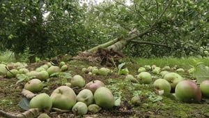 It is the worst time for apple trees to be caught up in a storm, as they are heavy with fruit and susceptible to wind damage