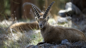 The southern Swiss canton of Wallis, the only one to allow the trophy hunting, said in a statement that as of next year, foreigners would no longer be granted permits to hunt ibexes