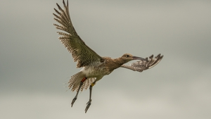 Curlew numbers have decreased by 96% in a 30-year period
