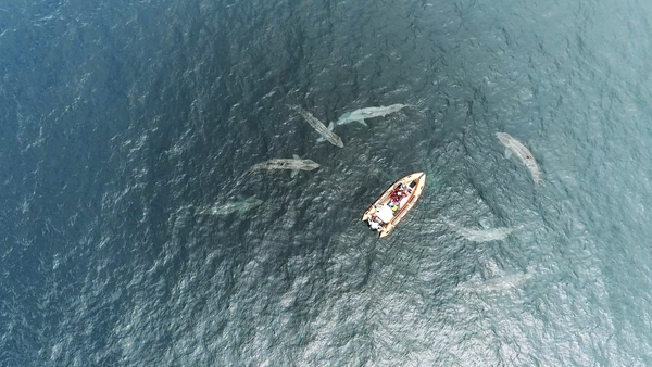 Drone footage shows an amazing encounter with basking sharks off the Co Clare coast