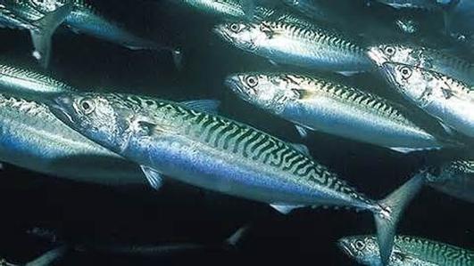 Naturefile - Mackerel