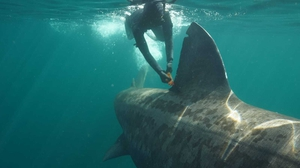 A snorkeller observes a basking shark off the west coast of Scotland which had been tagged off Co Clare earlier this year (Image: Bernt Popp)