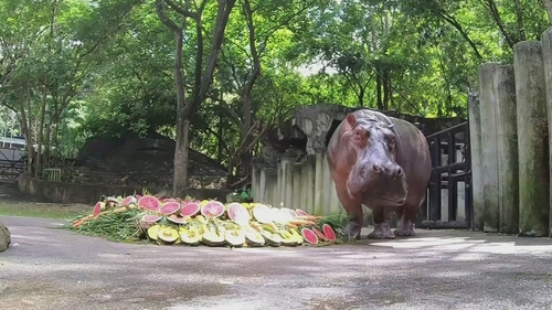 Hippopotamuses have a life expectancy from 40 to 50 years typically