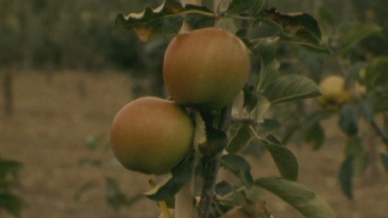 Apples, Co. Waterford (1980)