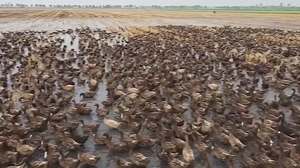 The ducks eat pests and leftover rice husks, reducing the need for chemicals and the workload on the farm