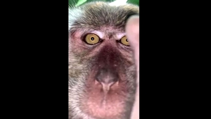 Footage shared on social media shows a monkey staring at the camera before attempting to put it in its mouth (Photos: @Zackrydz)