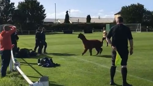 Oscar the Alpaca staged a pitch invasion at the meeting of Carlton Athletic and Ilkley Town