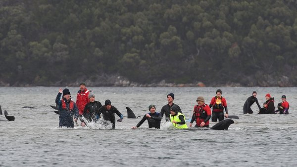 Marine rescue teams attempt to help save hundreds of pilot whales stranded on a sand bar