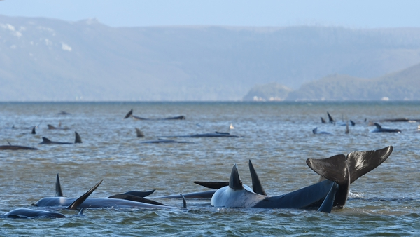 The long-finned pilot whales are trapped in two separate locations on the rugged west coast of Tasmania