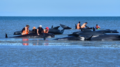 Volunteers tend to pilot whales during a mass stranding in New Zealand in 2017