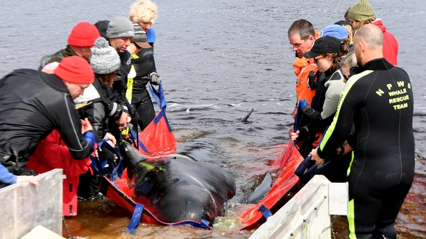 Rescue teams work to save a pilot whale in Tasmania