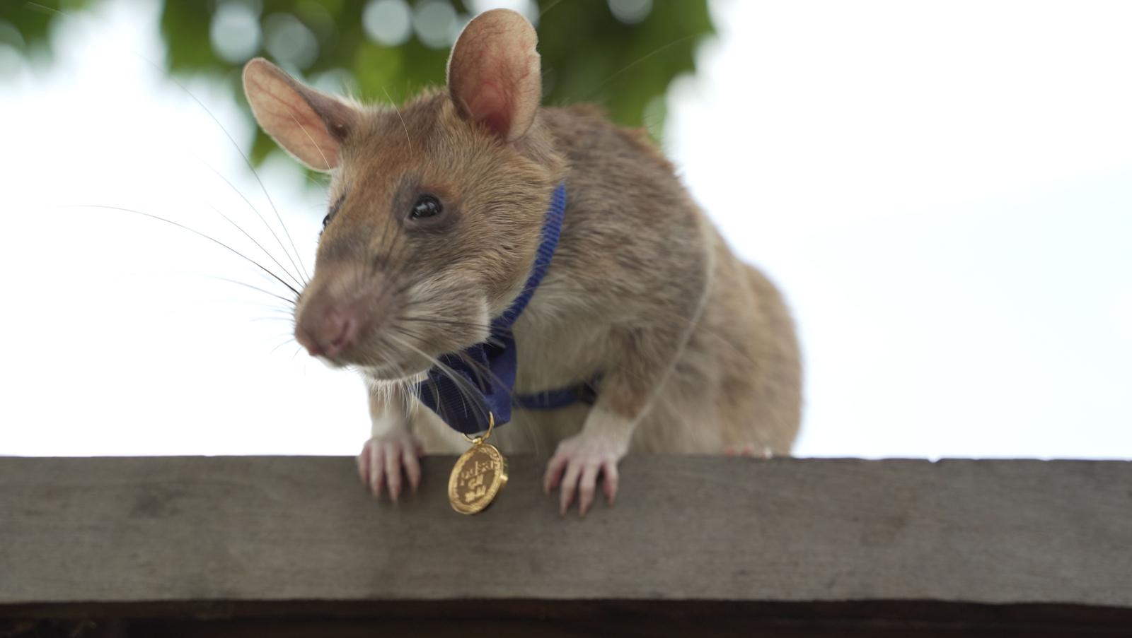 Hero rat awarded gold medal for 'lifesaving bravery'