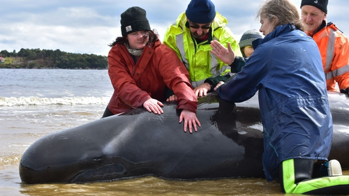 Rescuers embarked on a 'tremendous team effort' to save whales at Macquarie Harbour in Tasmania